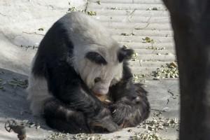 Panda i Beijing Zoo