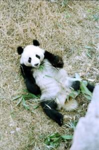 Beijing Zoo 1995 Panda