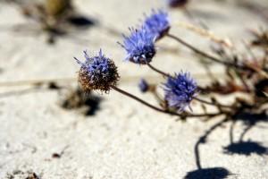Blomster på klithede