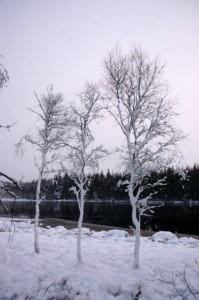 Frosne træer ved Mossø, Rold Skov