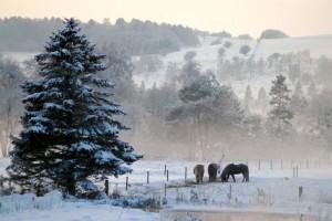 Heste og grantræ