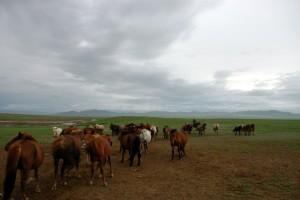 Heste på mark, Mongoliet