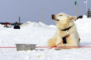 Hund nyder solen Trappers Trail Longyearbyen