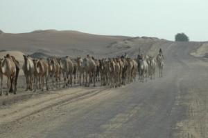 Kameler i ørkenen