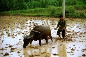 Kina 1995 - pløjer med vandbøffel, Yangshuo