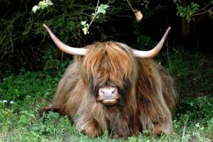 Langhåret kvæg - Skotsk Højlandskvæg