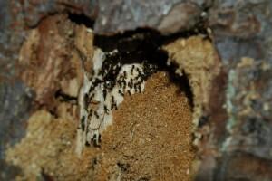 Myrer i træ