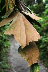 Planter blade Singapore regnskov