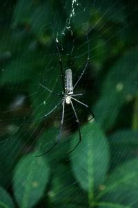 Edderkop, Pulau Ubin Singapore