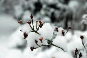 Røde bær i sne