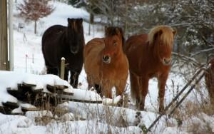Heste i sne ved Røde Mølle