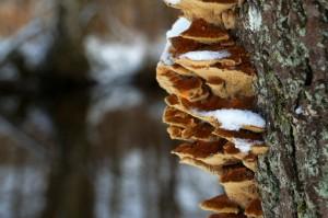 Svamp på træ i sne