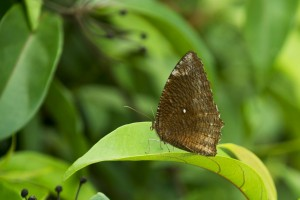 Sommerfugle Singapore