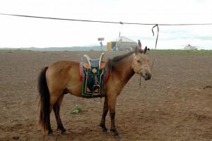 Tøjret hest med sadel