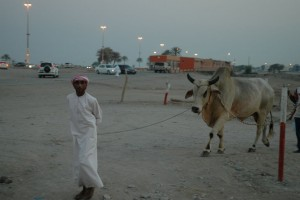 Trækker kvæg til tyrekamp