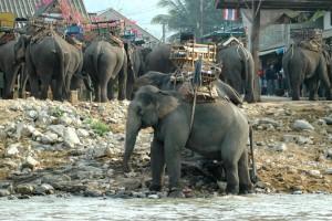 Elefanter i Kok-floden
