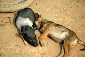 Hund og gris, Thailand