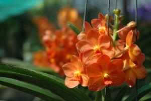 Orkideer, Thailand