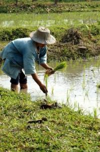 Planter ris