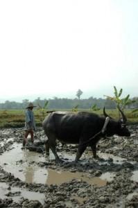 Pløjer med vandbøffel