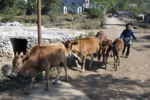 Tay-kvinde ved Ban Gioc røgter kvæg
