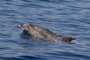 Øresvin (bottlenose dolphin)