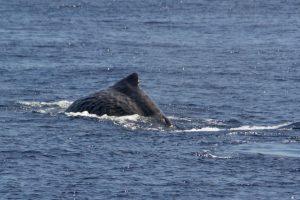 Kaskelothvalen kaldet Mr. Liable på vej til at dykke.