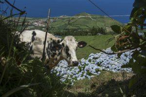 Der er køer og hortensia overalt